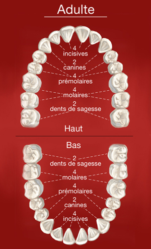 Schema dents de l'adulte